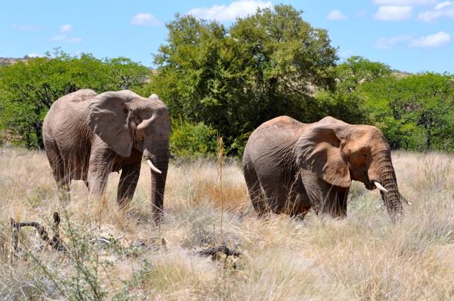 Achamos os Elefantes do Deserto