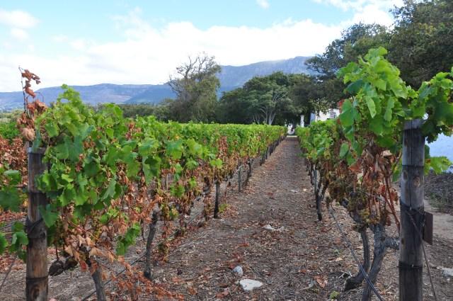 A tradição do cultivo da uva foi levado pelos holandeses.