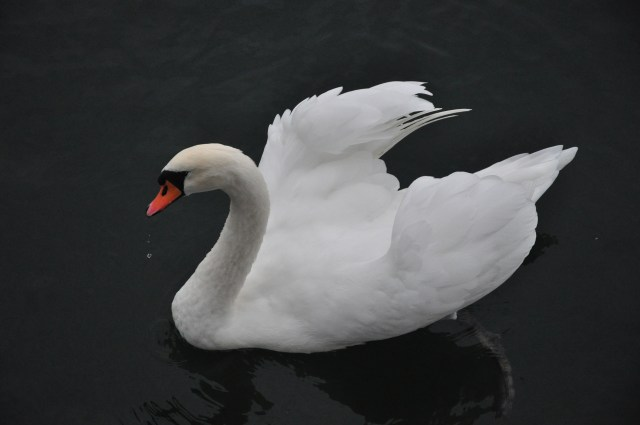 O cisne saúda o SS Antoinette