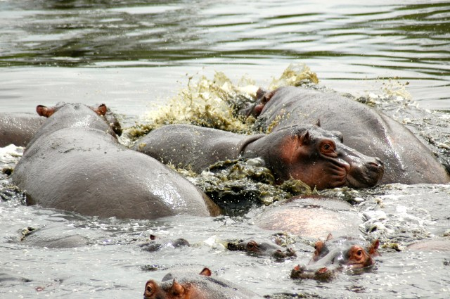 Hipopótamos no Serengeti.