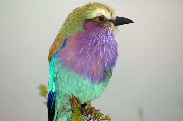 O maravilhoso Lilac-breasted Roller