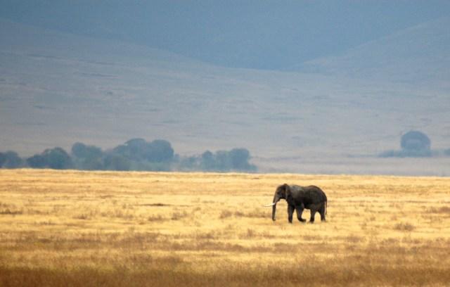 Um elefante solteiro na Cratera do Ngorongoro