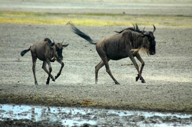A vida selvagem no interior da Cratera do Ngorongoro.