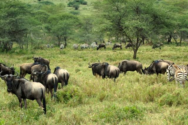 As zebras e os gnus pastam juntos.