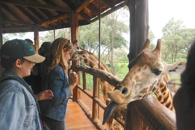 Alimentando as girafas.
