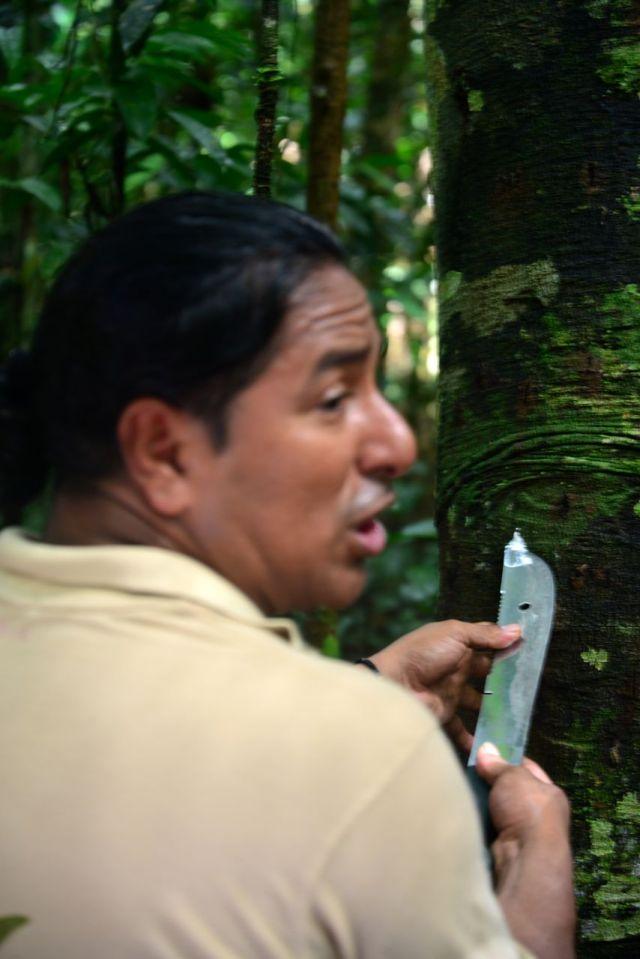 O guia Piro extraindo seiva de uma árvore para nos dá uma aula sobre a biodiversidade da Amazônia