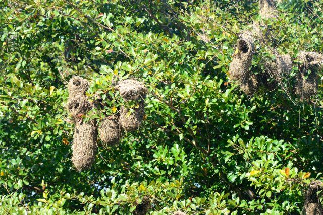 Os ninhos do xexéu.