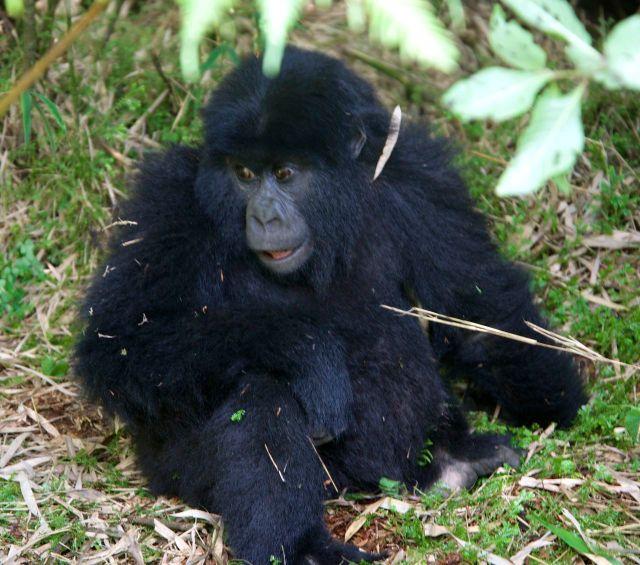 Bebê gorila.