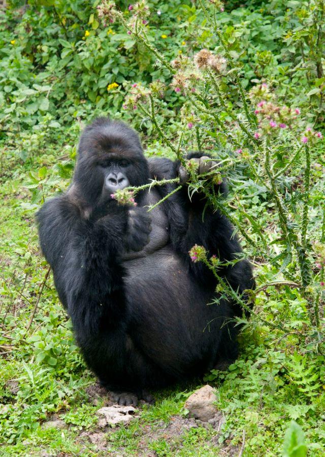 Os gorilas são vegetarianos.