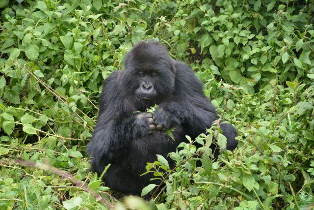 Um gorila-das-montanhas.
