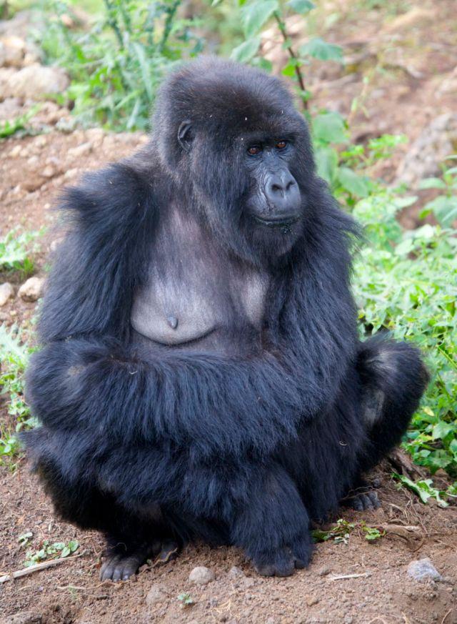 Os gorilas são animais dóceis, mas têm uma aparência assustadora.