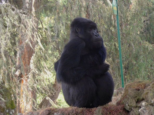 O gorila estava obstruindo a saída do Parque.