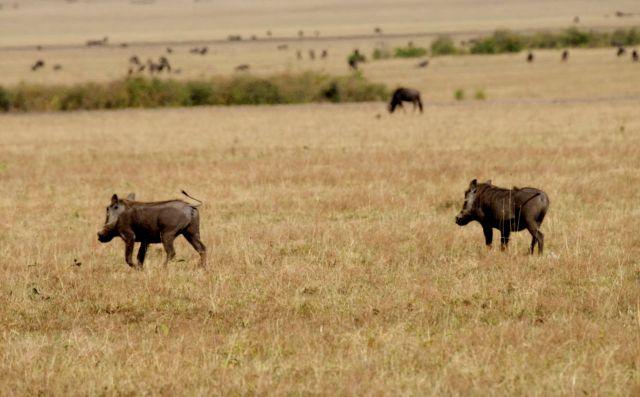 Encontramos os javalis logo no início do primeiro safari.