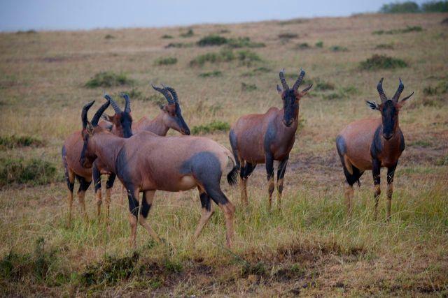Os Topis migram juntos com os gnus e as zebras.