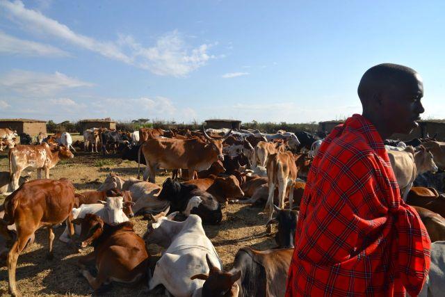 O gado e o guerreiro Masai.