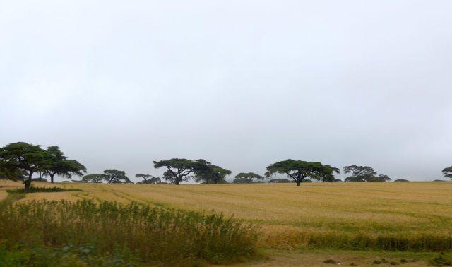 Cultivo do trigo nos arredores de Narok