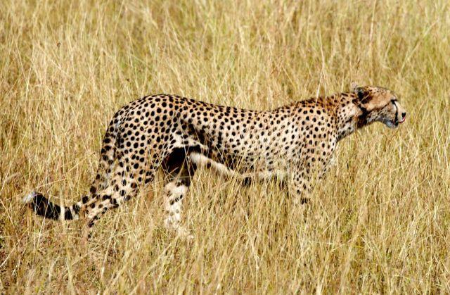 Cauda longa, cabeça pequena e corpo aerodinâmico.