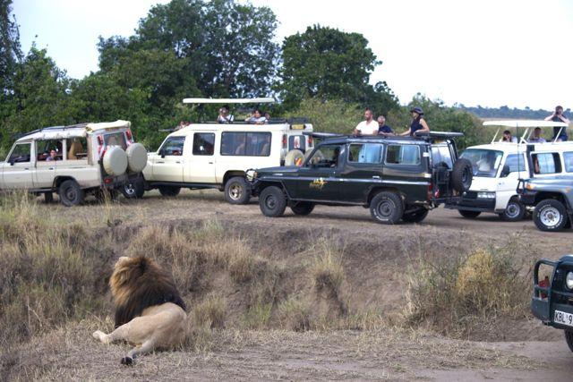 Os carros de safari cercam o grande leão.