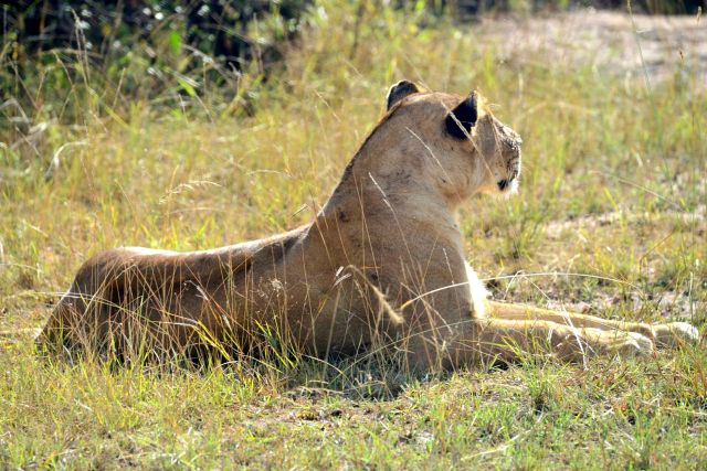 A leoa estava atenta e preparada para caçar.
