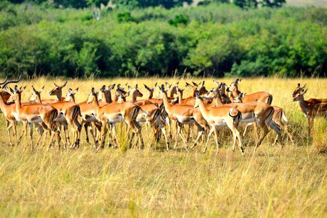 As impalas estavam atentas.