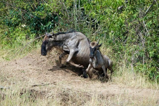 Muitos animais sofrem acidentes na travessia louca.
