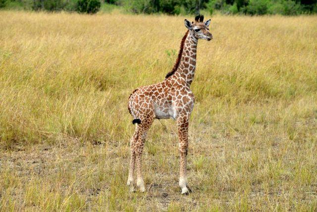 Um lindo bebê girafa, ainda com umbigo.