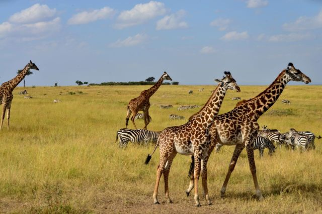 Girafas e zebras.
