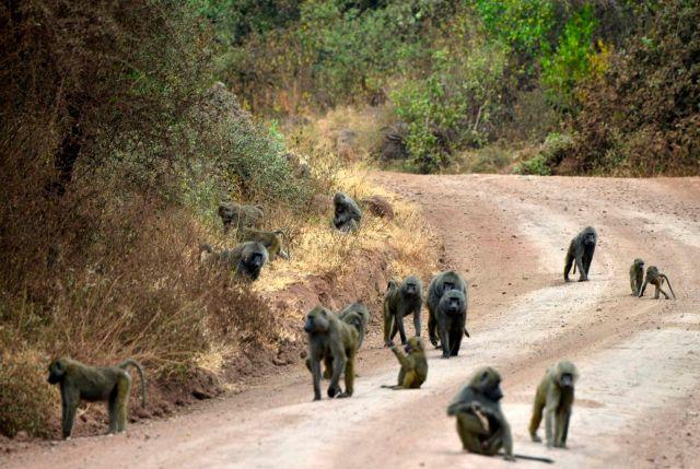 Grandes grupos de babuínos por toda a área do parque.