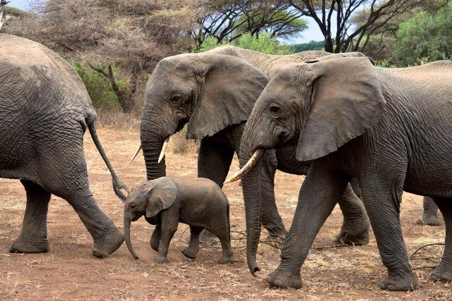 O pequeno filhote de elefantes, protegido pelas fêmeas.