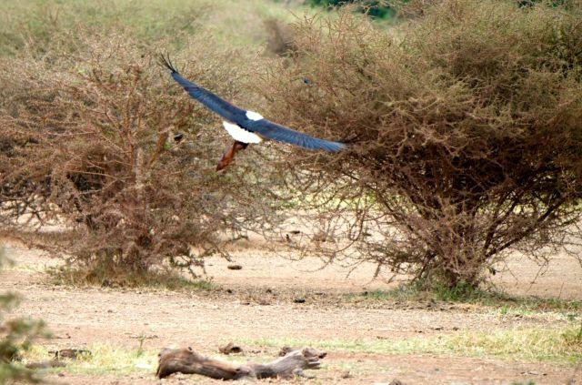 Com a nossa aproximação a águia-pescadora-africana levantou voo.