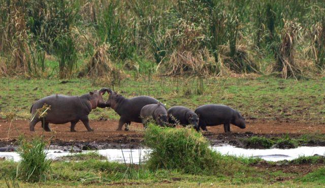 Os hipopótamos.