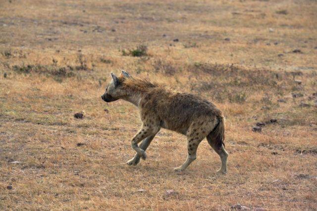 As hienas fêmeas são maiores e mais agressivas.