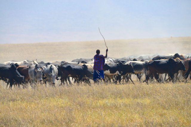 Os Masai costumam levar os seus rebanhos para pastar no interior da cratera.