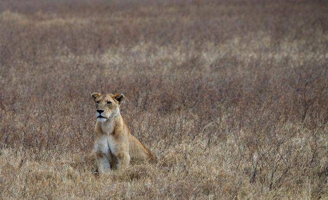 A bela leoa estava atenta aos filhotes.