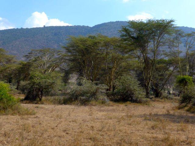 A floresta de acácias.
