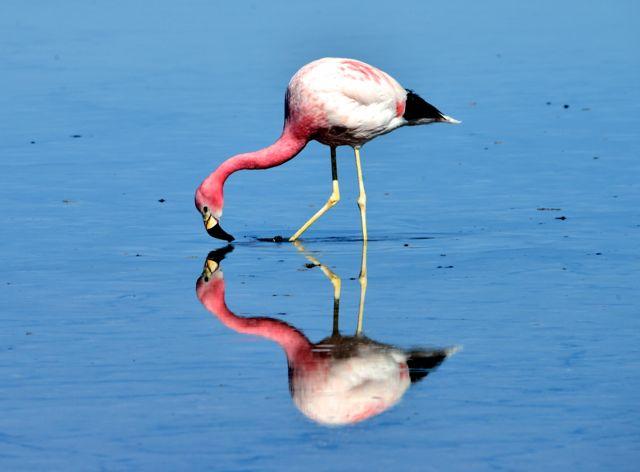 Flamingo na Lagoa Chaxa.
