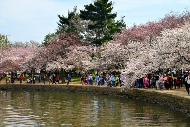 O Parque das Cerejeiras.