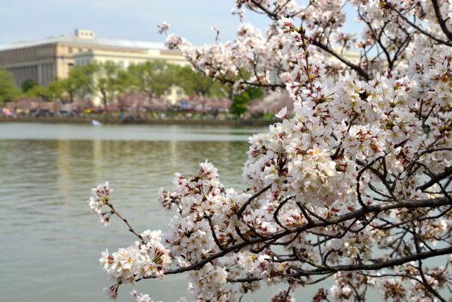 O espetáculo da floração das cerejeiras.