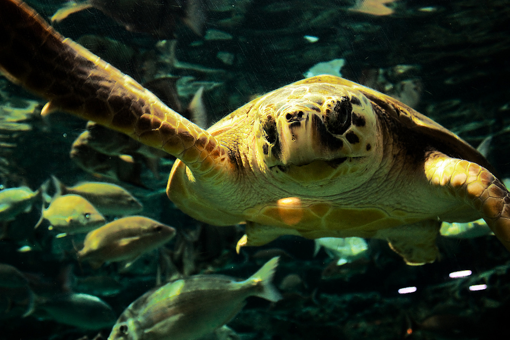 A photo of a sea turtle swimming by Larry Olson on Flickr