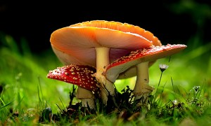 A photo of mushrooms emerge in the field by Bernard Spragg on Flickr