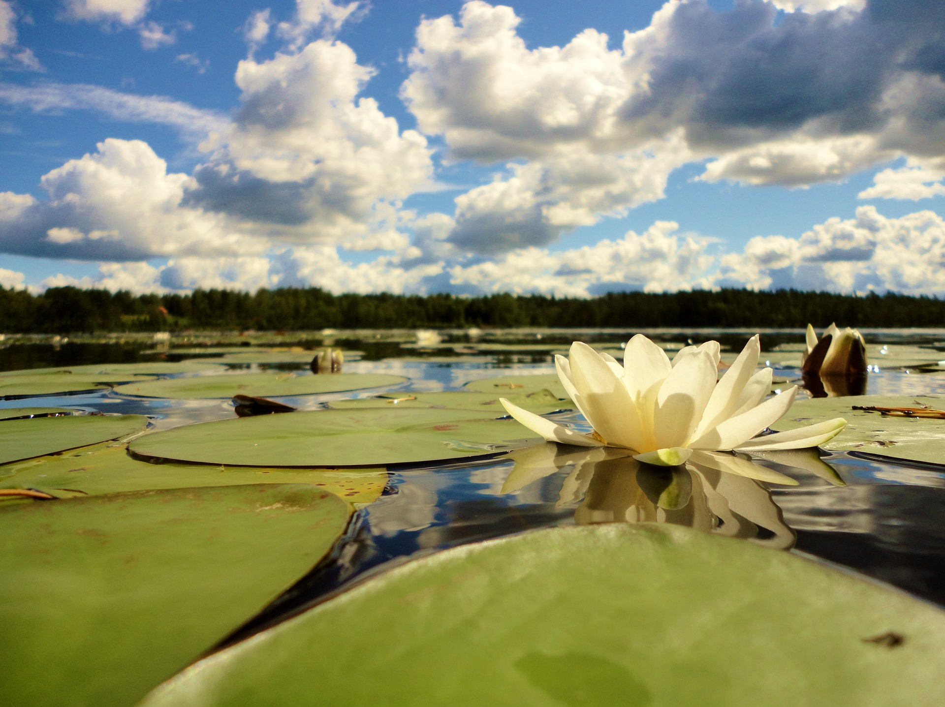 A photo of a white Water Lily on a lake by VicoHeintz on Pixabay