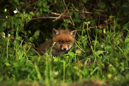 Petit renard - rencontre