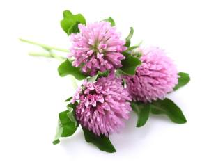 Everyday Weeds for Pain Relief - Red Clover
