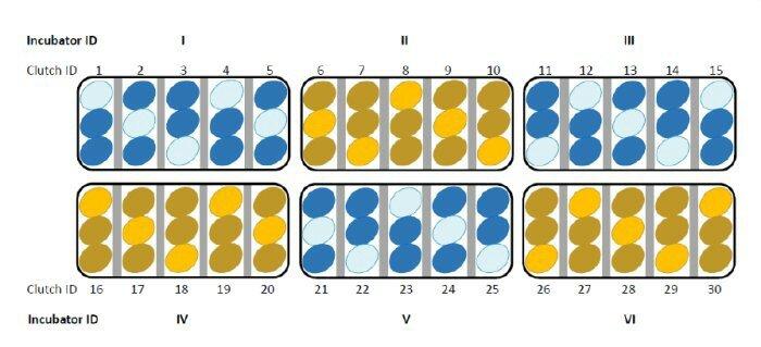 Зародыши птенцов общаются друг с другом через скорлупу яиц 2