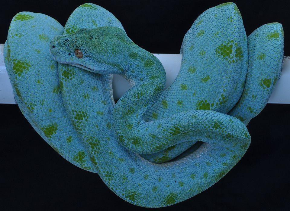 Зеленый питон (лат. Morelia viridis) 6