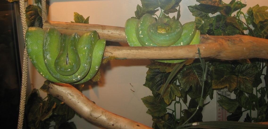 Зеленый питон (лат. Morelia viridis) 17