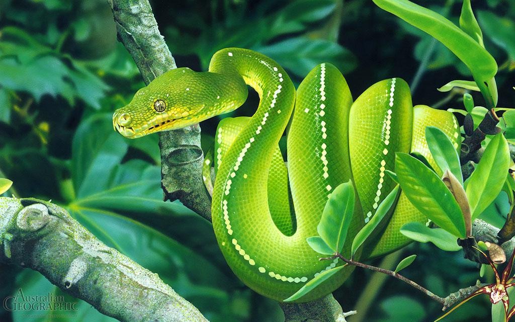 Зеленый питон (лат. Morelia viridis) 1