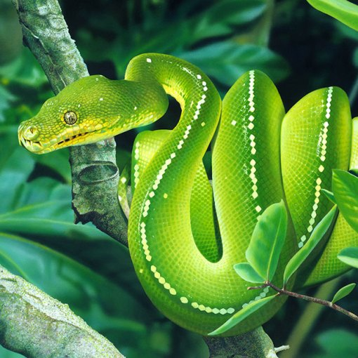 Зеленый питон (лат. Morelia viridis) 11