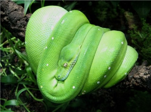 Зеленый питон (лат. Morelia viridis) 14