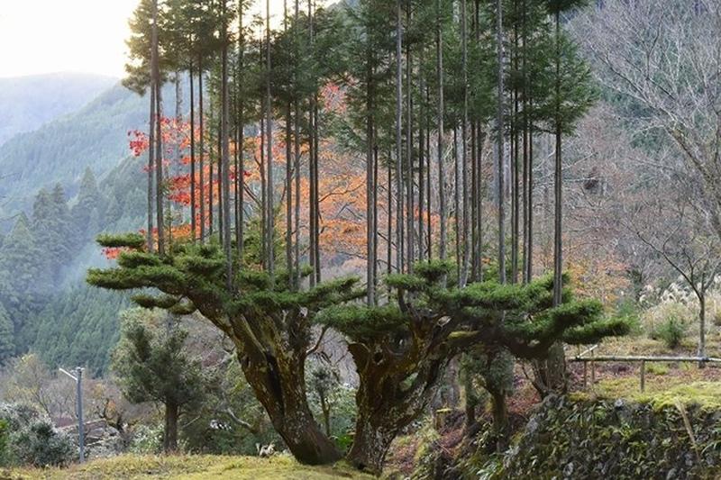 Экологам на вооружение. Японские кедры китаяма в технике 14 века 2